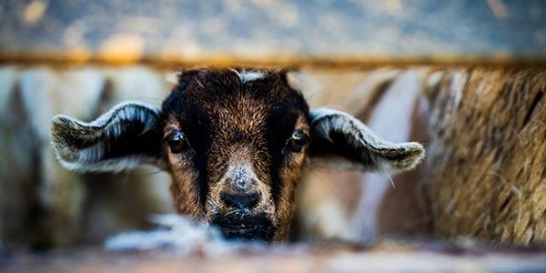 Goat peeking through a fence